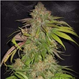Big Black Indica Feminized Seeds