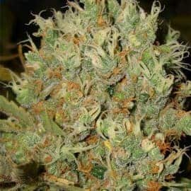 Borderline XTRM Feminized Seeds