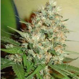 Candy Kush Seeds