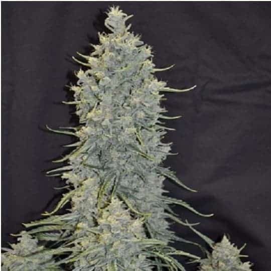 Cappuccino 420 Feminized Seeds