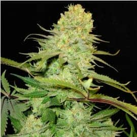 Cheese Auto-Fem Seeds