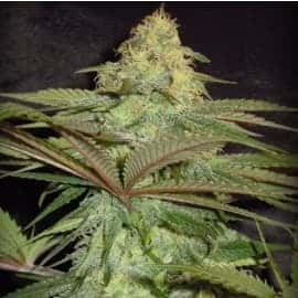 Forest Fruits Auto Feminized Seeds