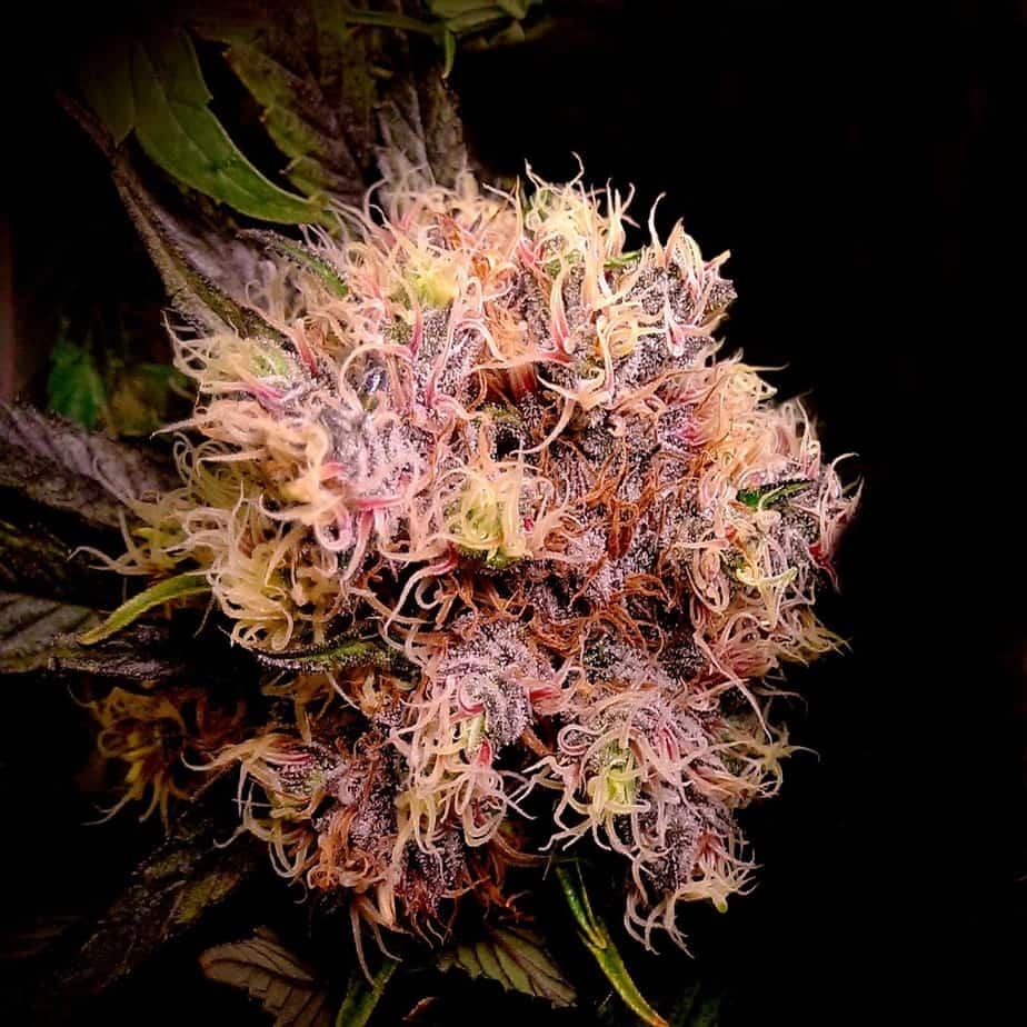 Purple Kush Seeds