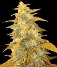 Afghan Kush Seeds