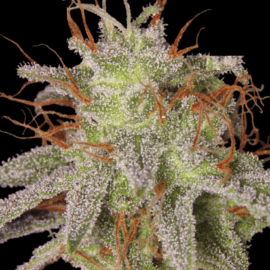 Amnesia Lemon Feminized Seeds