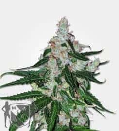 White LSD Auto Feminized Seeds