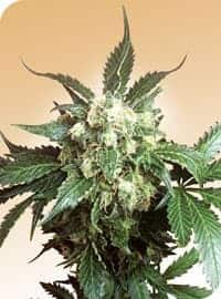 Black Domina Seeds