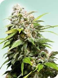 California Indica Seeds