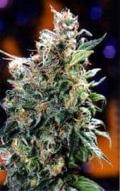 California Orange Feminized Seeds