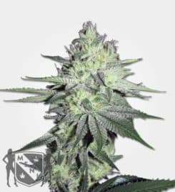 Chem Dog Feminized Seeds