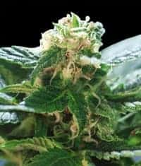 Columbian Gold Feminized Seeds