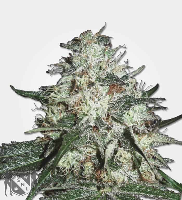 Cotton Candy Kush Seeds