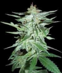 Delirium Feminized Seeds