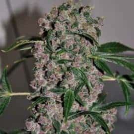 Girl Scout XTRM Cookies Seeds
