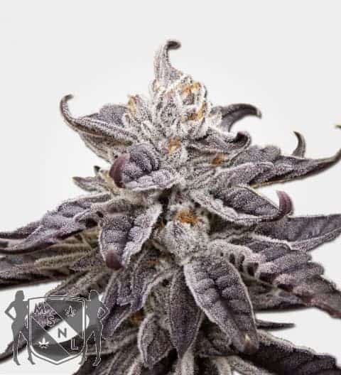 Auto GDP Feminized Seeds
