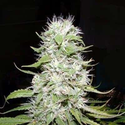 Hawaii Skunk Seeds