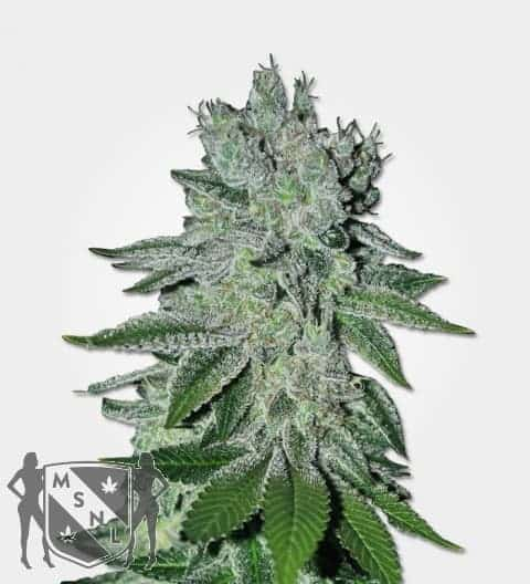 Headband OG Feminized Seeds