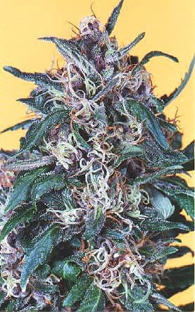Hollands Hope Feminized Seeds