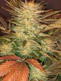 Ice Cream Feminized Seeds