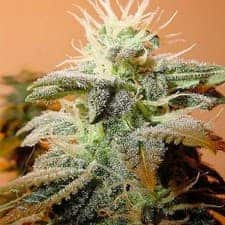 Indoor Mix Feminized Seeds