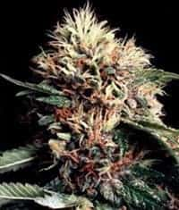 Ketama Feminized Seeds