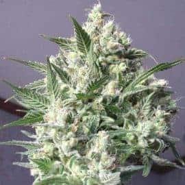 La Blanca Seeds