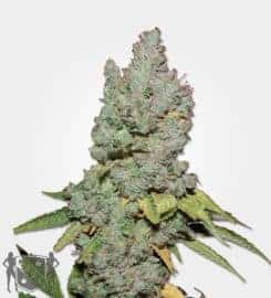 Medi Bud Feminized Seeds