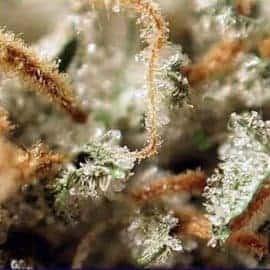 Medijuana Seeds
