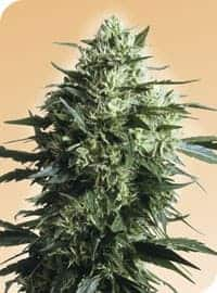 Mothers Finest Seeds