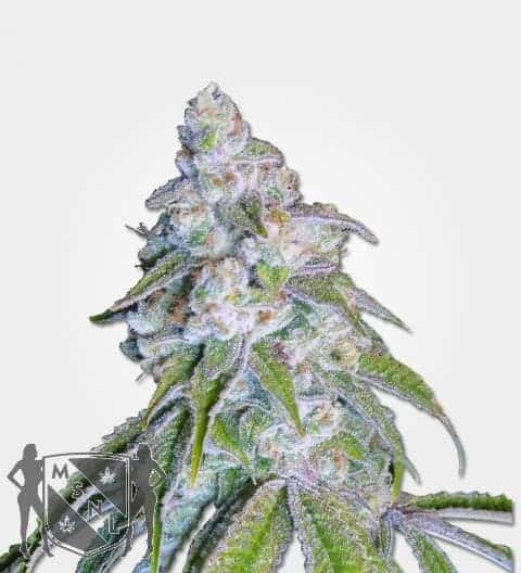 Nevilles Haze Feminized Seeds