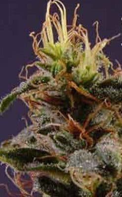 New York Turbo Diesel Seeds