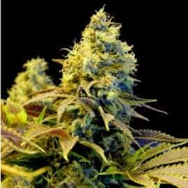 Northern Lights XTRM Seeds