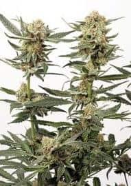 Ortega Indica Feminized Seeds