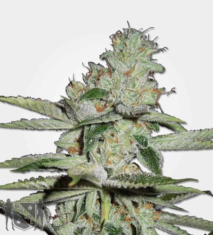Pineapple Kush Auto Feminized Seeds