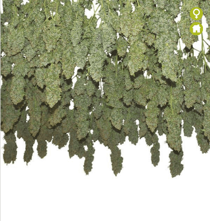 Power Plant Feminized Seeds