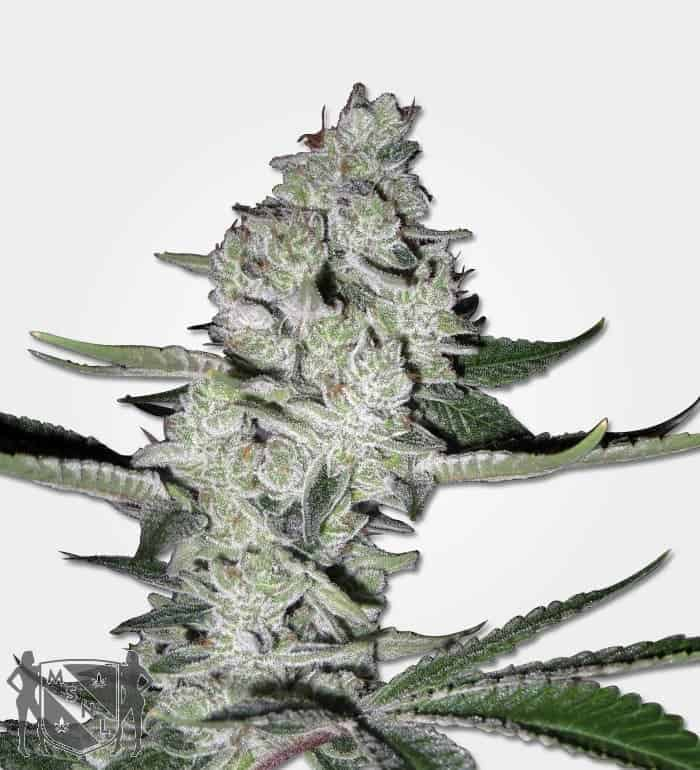 Super Sweet Tooth Feminized Seeds