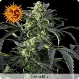 Crimea Blue Seeds