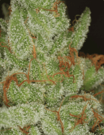 FIRE OG KUSH SEEDS