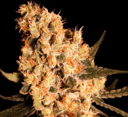 Jamaican Dream Seeds