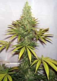 Kush Dream Seeds