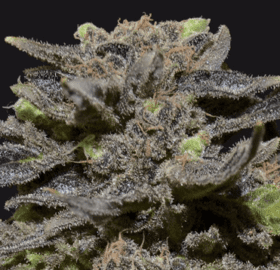 Magma Seeds