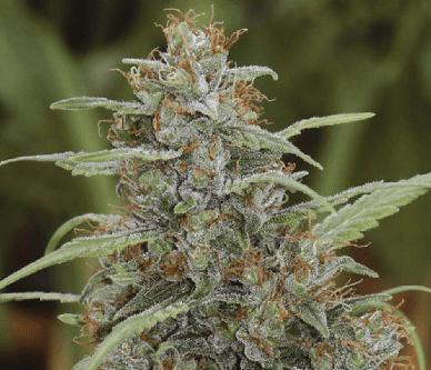Mandala 1 Seeds