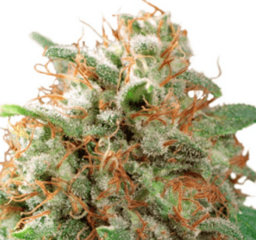 Outlaw Seeds