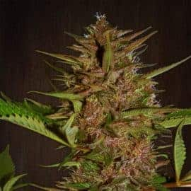 PAKISTAN CHITRAL KUSH SEEDS