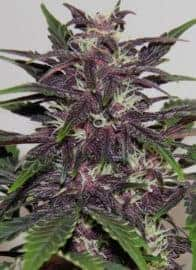 Purple Buddha Seeds