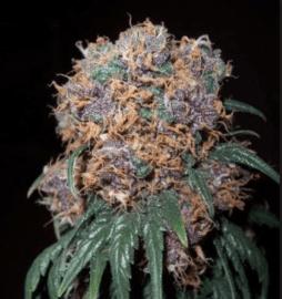 Purple Rhino Seeds