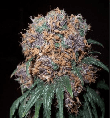 Purple Rhino Seeds