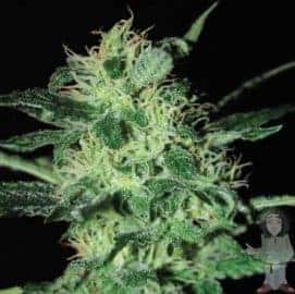 SUPER CRITICAL SEEDS