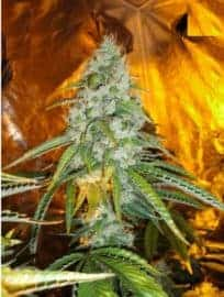 ORIGINAL SOUR DIESEL SEEDS