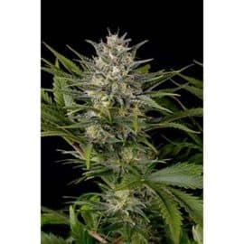 PINEAPPLE SKUNK SEEDS